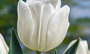 Секреты выращивания тюльпанов Антарктика