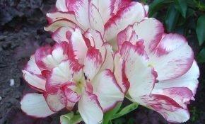 Секреты агротехники для тюльпанов Белиция