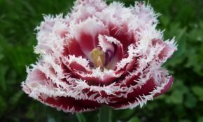 Агротехника для тюльпанов Брест