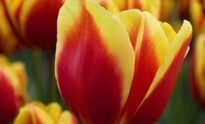 Советы по выращиванию тюльпана Денмарк
