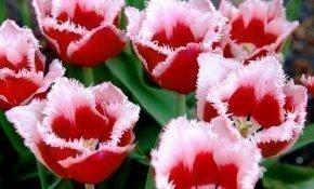 Агротехника для сорта тюльпанов Канаста