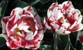 Сорт тюльпанов Карнавал де Ницца