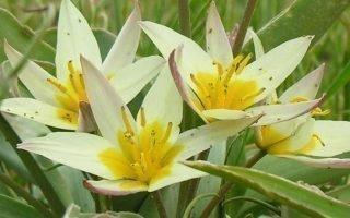 Разновидности тюльпанов Кауфмана