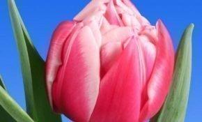 Секреты агротехники для тюльпанов Колумбус