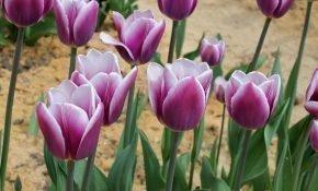 Правила выращивания тюльпана Синаеда