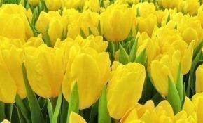 Как ухаживать за тюльпанами Стронг Голд