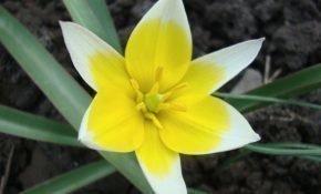 Как вырастить тюльпаны Тарда Дасистемон