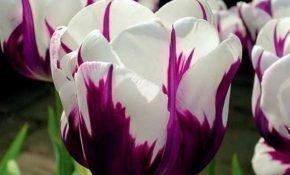 Разновидности тюльпанов Дарвиновы гибриды