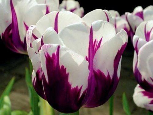 тюльпаны дарвиновы гибриды