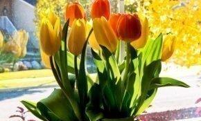 Правила выращивания тюльпанов в домашних условиях