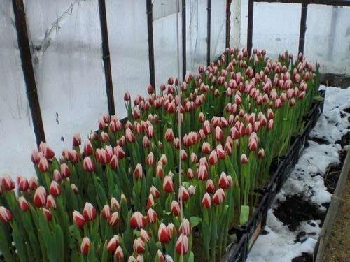 Выгонка тюльпанов в отапливаемой теплице