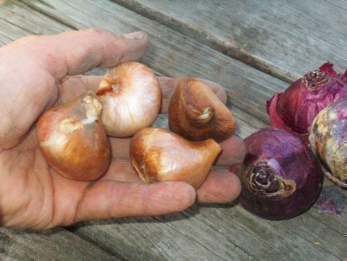 в чем замачивать тюльпаны перед посадкой