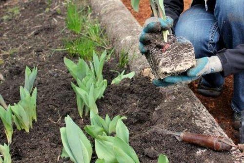 Высадка рассады тюльпанов