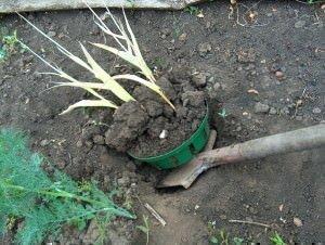 Выкапывание тюльпанов