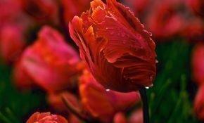 Почему вянут и желтеют тюльпаны