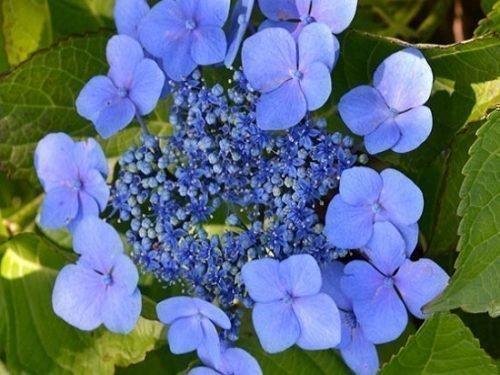 Пильчатая гортензия Блюберд соцветие