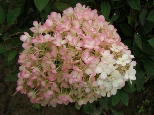 Гортензия метельчатая Бобо розовый