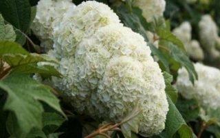 Как выращивать дуболистные гортензии