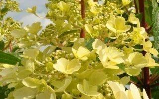 Выращивание метельчатой гортензии Канделайт