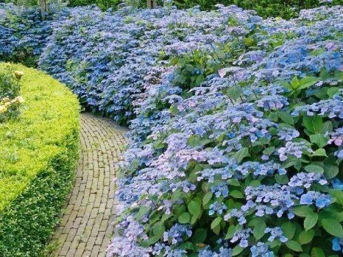 Пильчатая гортензия Блюберд - зеленая ограда