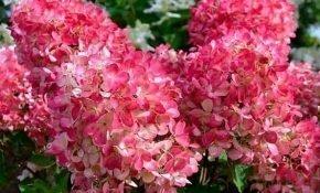 Выращивание метельчатой гортензии Пинк Даймонд