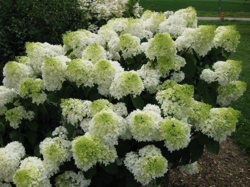 Соцветия гортензии Сильвер доллар в начале цветчения