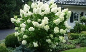 Выращивание гортензии Полар Бир