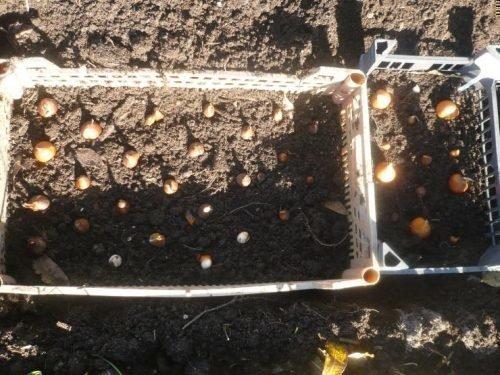 Посадка тюльпанов в ящики осенью