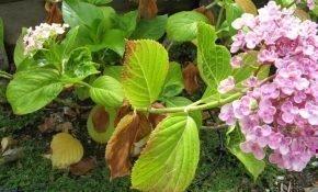 Что делать, если сохнут или чернеют листья и ветки у гортензии