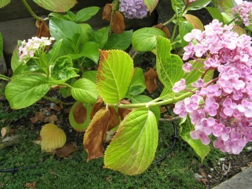 Сохнут кончики листьев у гортензии