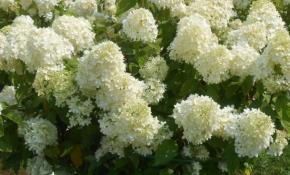 Выращивание метельчатой гортензии Селекшн