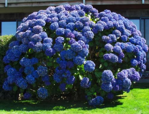 Гортензия голубая крупнолистная