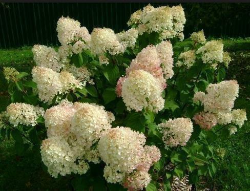 Соцветия гортензии Сильвер доллар в конце цветения