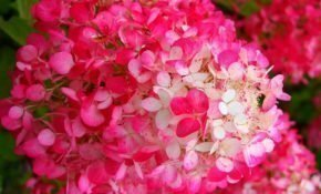 Выращивание гортензии Даймонд Руж