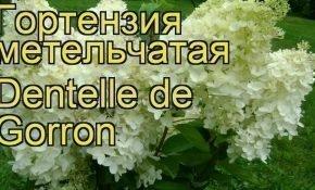 Как правильно сажать гортензии Дентель де Горрон