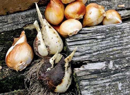 Сбор и сортировка луковиц