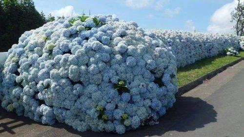 Гортензия голубая Хлопкорн-блю