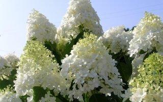 Как правильно ухаживать за метельчатой гортензией Долли для пышного цветения
