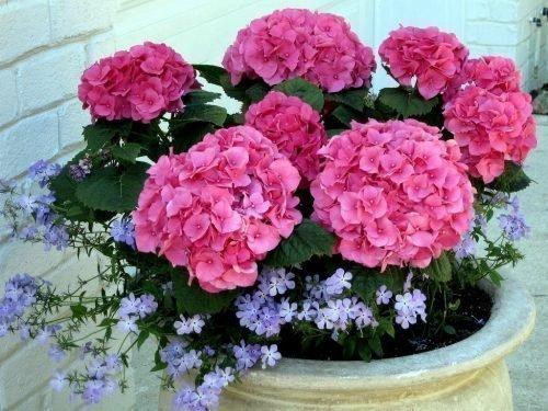 Розовая комнатная гортензия