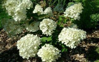 Как правильно посадить гортензии Бомбшелл, чтобы они хорошо цвели