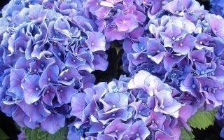 6 способов размножения гортензии