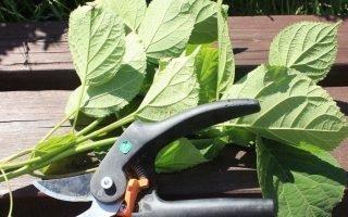 Как нужно размножать метельчатые гортензии черенками