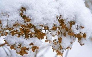 Правила хранения гортензий зимой