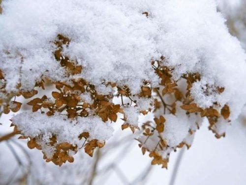 как сохранить гортензию зимой