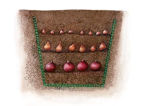 Глубина посадки луковиц в зависимости от размера