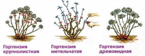 обрезка гортензии осенью