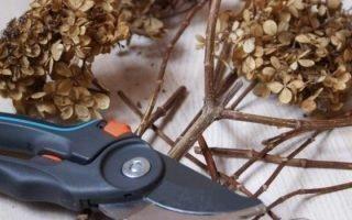 Правила обрезки гортензии осенью
