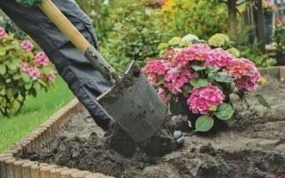 Правила посадки гортензии осенью в открытый грунт