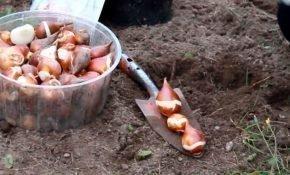 В какие сроки лучше сажать тюльпаны и как это правильно делать