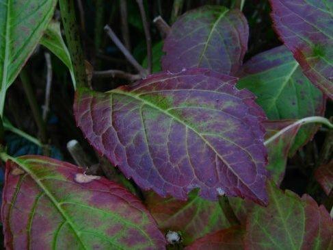 Почернение листьев у гортензии